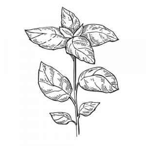 Large image of Basil Pure Essential Oil