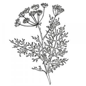 Large image of Caraway Pure Essential Oil