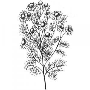 Large image of Chamomile Moroccan Pure Essential Oil