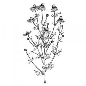Large image of Chamomile Roman Pure Essential Oil