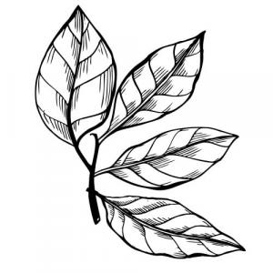 Large image of Clove Leaf Pure Essential Oil
