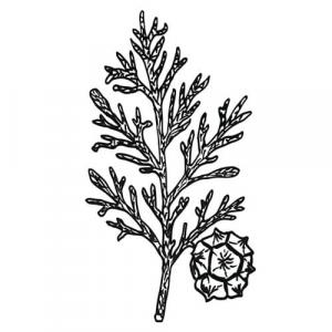 Large image of Cypress Pure Essential Oil
