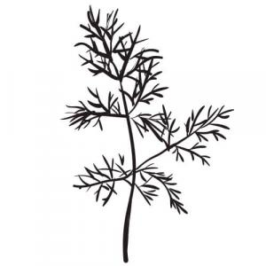 Large image of Dill Pure Essential Oil