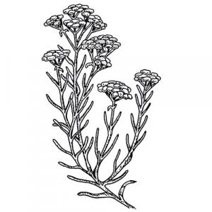 Large image of Helichrysum Pure Essential Oil