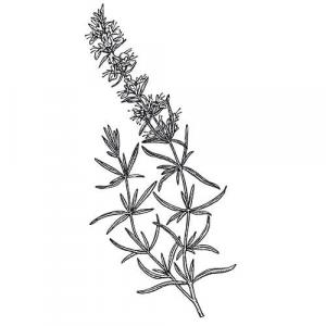 Large image of Hyssop Pure Essential Oil