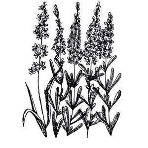 Large image of Lavender Bulgarian Pure Essential Oil