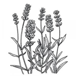 Large image of Lavender High Alpine Pure Essential Oil