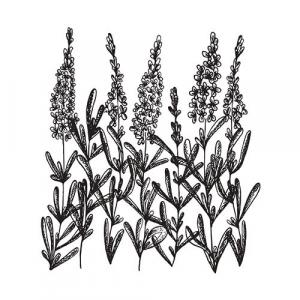 Large image of Lavender Spike Pure Essential Oil