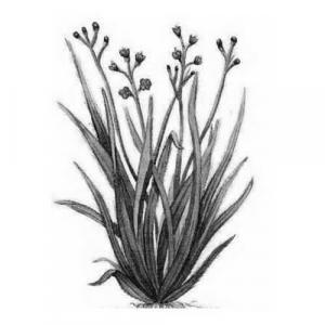 Large image of Palmarosa Pure Essential Oil