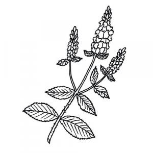 Large image of Peppermint Pure Essential Oil