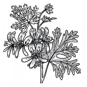Large image of Rose Geranium Pure Essential Oil