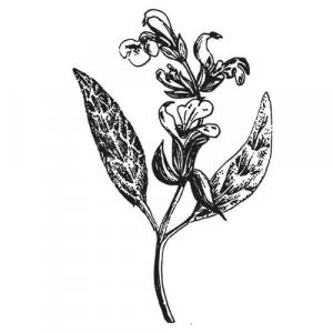 Large image of Sage Pure Essential Oil