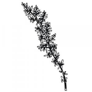 Large image of Thyme Linalool Pure Essential Oil