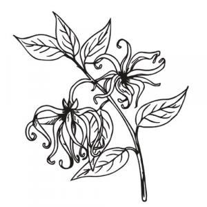 Large image of Ylang Ylang Extra Pure Essential Oil