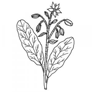 Large image of Borage Carrier Oil