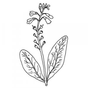Large image of Comfrey Infused Carrier Oil