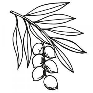 MACADAMIA - CARRIER OIL - Macadamia ternifolia