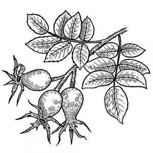 ROSEHIP   CARRIER OIL Rosa canina