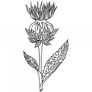 SAFFLOWER - CARRIER OIL - Carthamus tinctorius