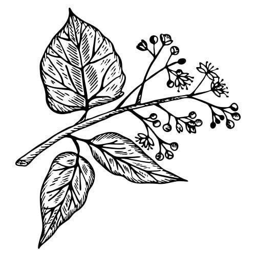 Camphor cinnamomum camphora camphor white pure essential oil cinnamomum camphora mightylinksfo