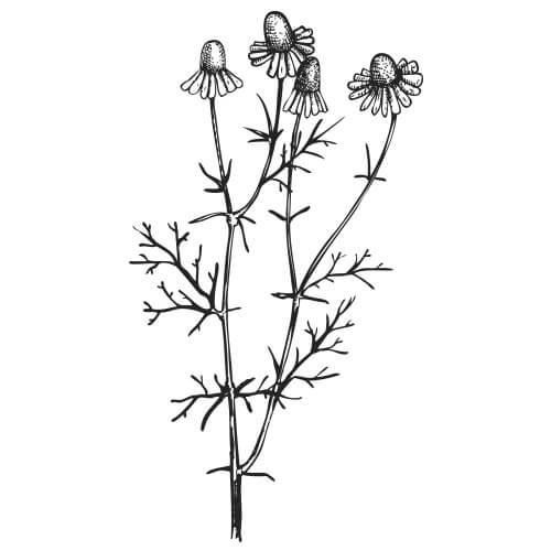 CHAMOMILE Blue/German - Matricaria chamomilla