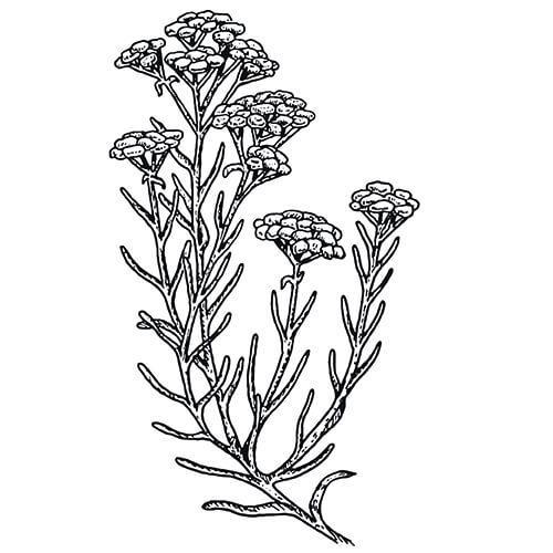 HELICHRYSUM (Immortelle) - Helichrysum angustifolium