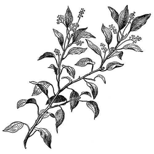 HO LEAF - Cinnamomum camphora