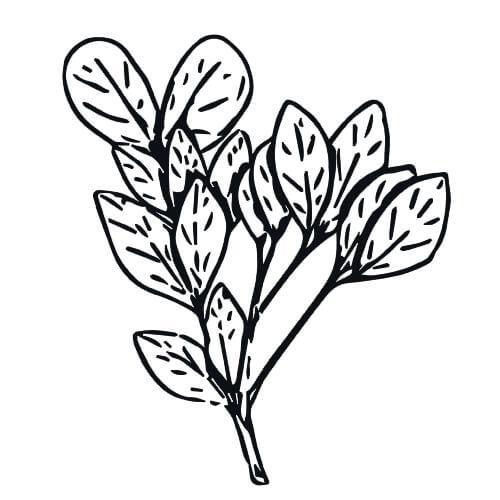 RAVENSARA - Ravensara aromatica