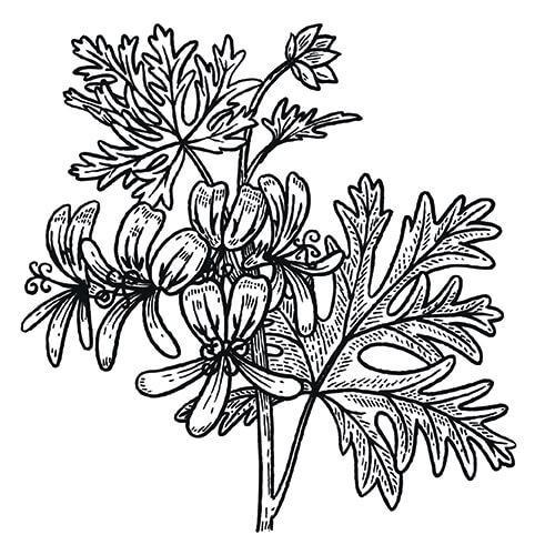 ROSE GERANIUM - Pelargonium species