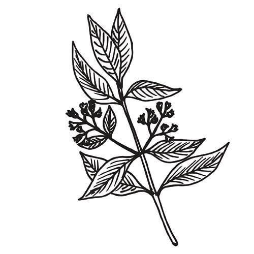 SANDALWOOD AUSTRALIAN - Santalum spicatum