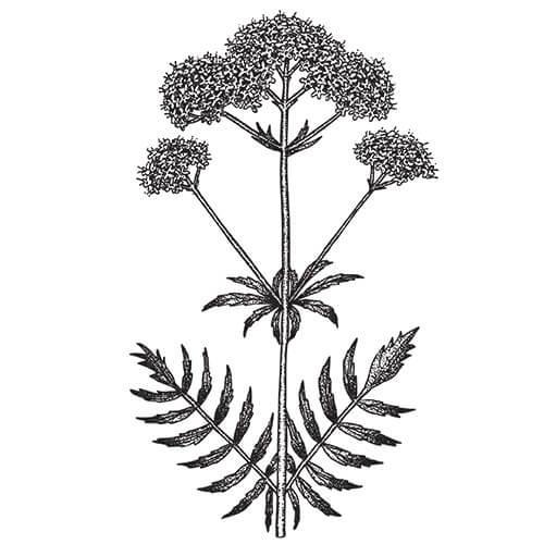 VALERIAN ROOT - Valeriana officinalis